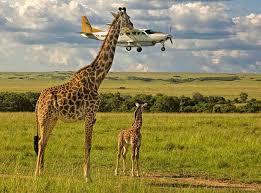 Photos Humour : une girafe qui erses  attrape  un avion
