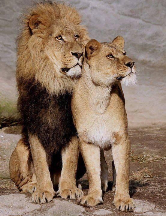 Photos Humour : Un lion et une lionne