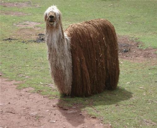 Photos Humour : Concours de beauté  lama femelle