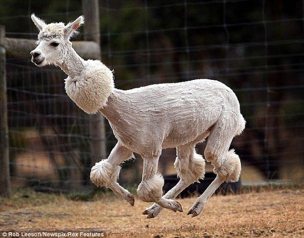 Photos Humour : Concours de beauté  lama mâle.
