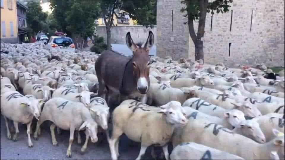 Photos Humour : Les français moutons suivent leur président...